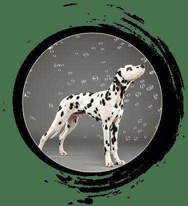 Dalmatiner von Orcamou - Camou