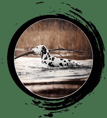 Dalmatiner als Jagdhund