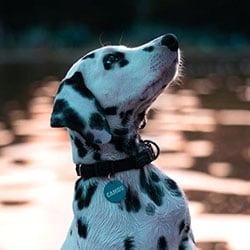 Camou als Junghund