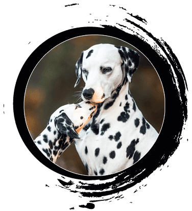 Dalmatiner von Orcamou - Unsere Hunde